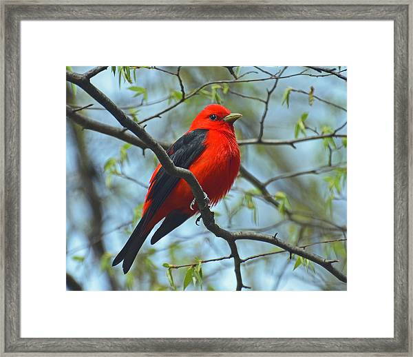 Scarlet Tanager In The Forest Framed Print