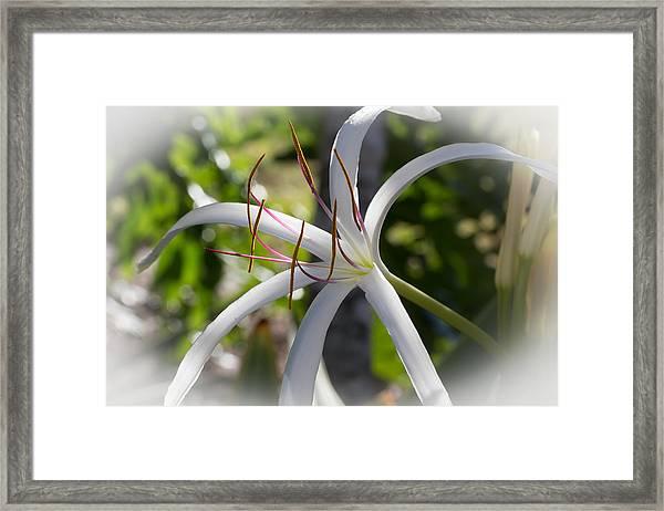 Spider Lilly Flower Framed Print