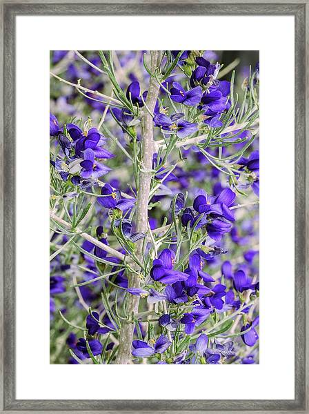 Schott's Dalea (psorothamnus Schottii) In Flower Framed Print