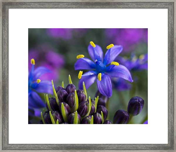 Framed Print featuring the photograph Scilla Peruviana by Priya Ghose