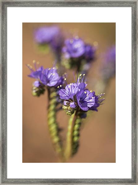 Scorpion Weed Framed Print