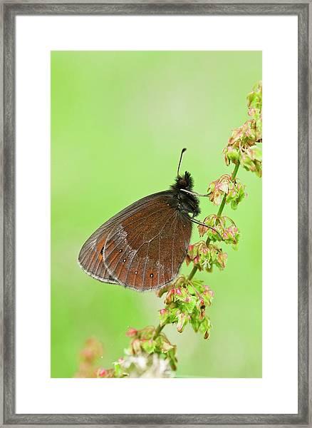 Scotch Argus Butterfly On A Dock Plant Framed Print by Bob Gibbons