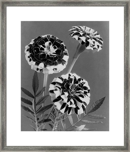 Scotch-stripe Marigolds Framed Print