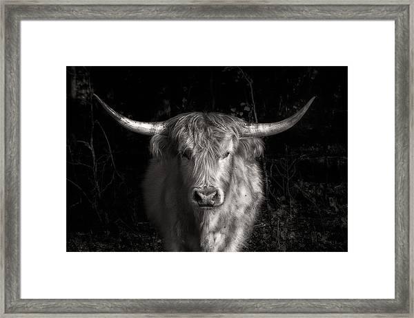 Scottish Highlander Bull Framed Print