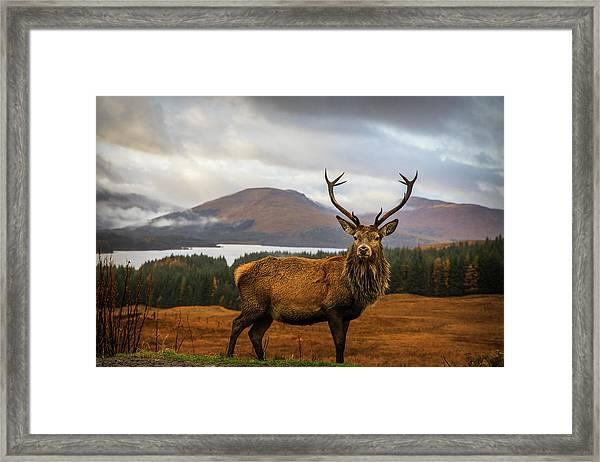 Scottish Stag Framed Print