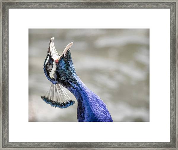 Screaming Peacock Framed Print
