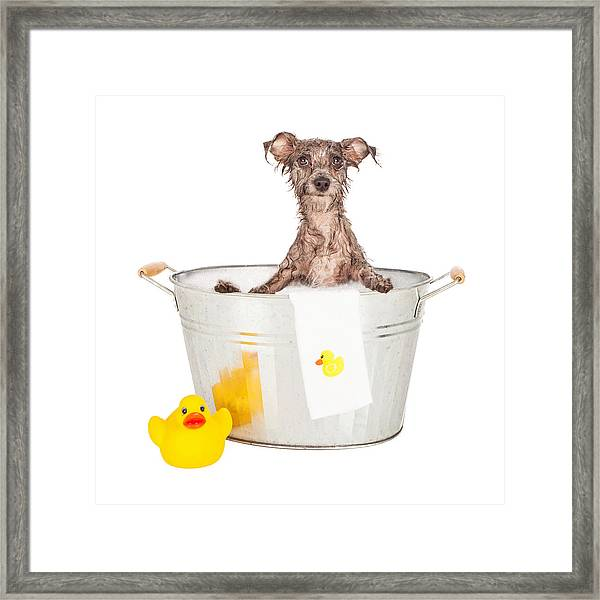 Scruffy Terrier In A Bath Tub Framed Print