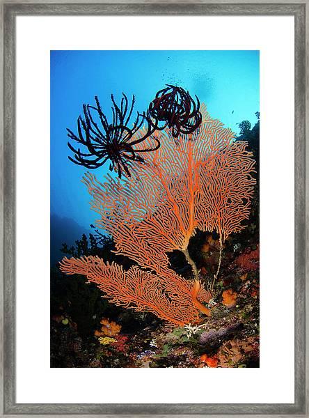 Sea Fan (gorgonia Framed Print by Pete Oxford