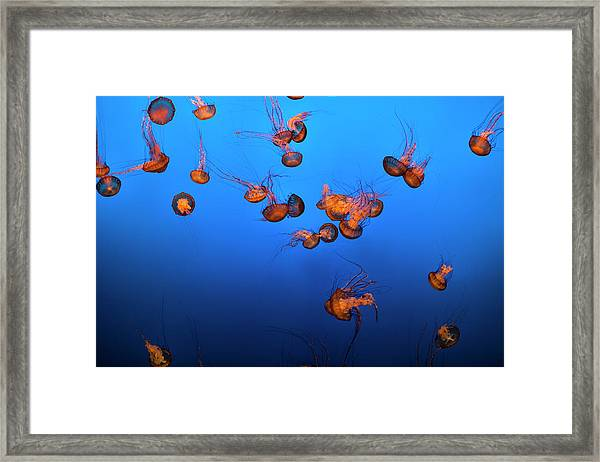 Sea Life And Jelly Fish Underwater The Framed Print by Pgiam