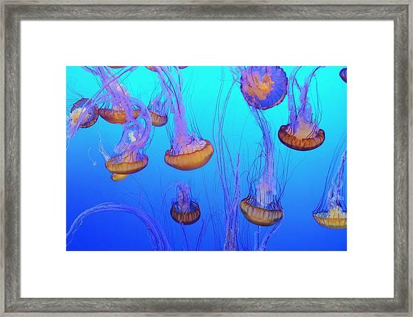 Sea-nettle Jelly Fish  Framed Print