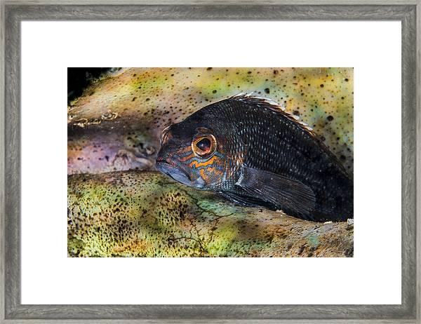 Seabass In A Shell Framed Print
