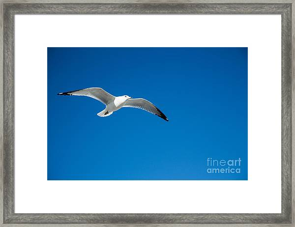 Seagull In Blue Skies Framed Print by Mina Isaac