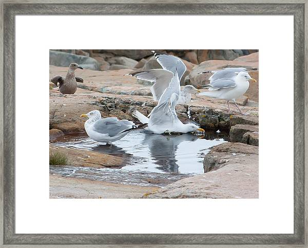 Seagull Swimming Pool - Acadia Framed Print