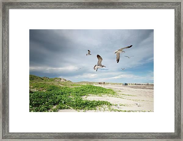 Seagulls In Flight At North Padre Framed Print
