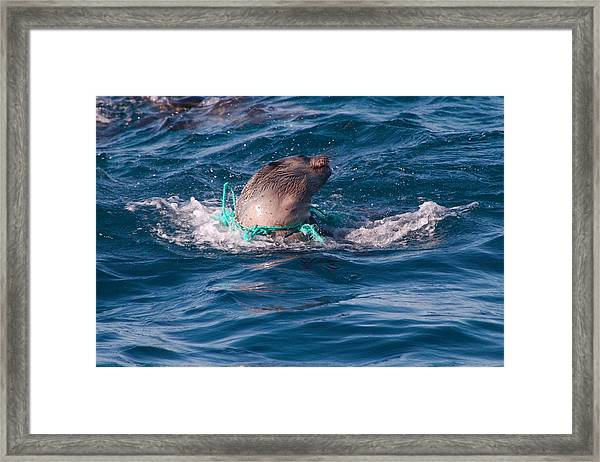 Seal Pup Struggling With Pollution Framed Print