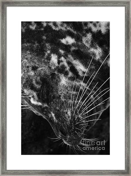 Seal Solitude Framed Print