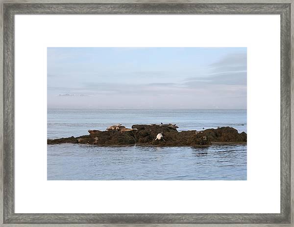 Seals On Island Framed Print by Carolyn Reinhart