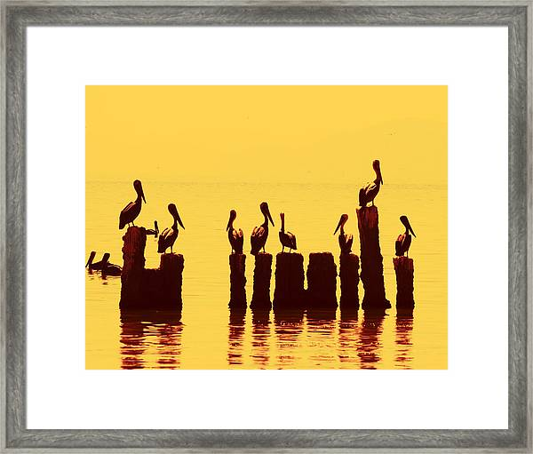 Secret Life Of Pelicans Framed Print
