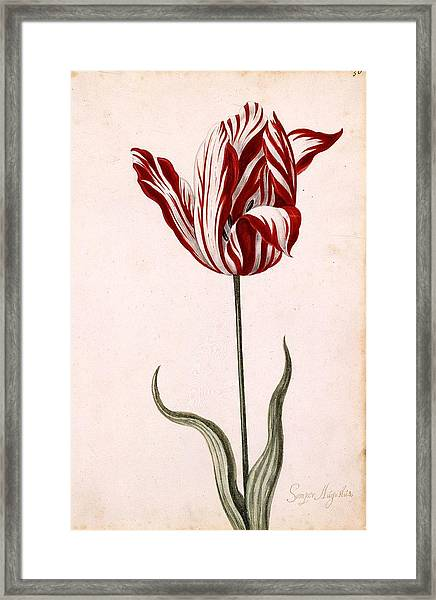 Semper Augustus Framed Print