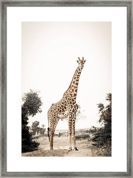 Sentinal Giraffe Framed Print