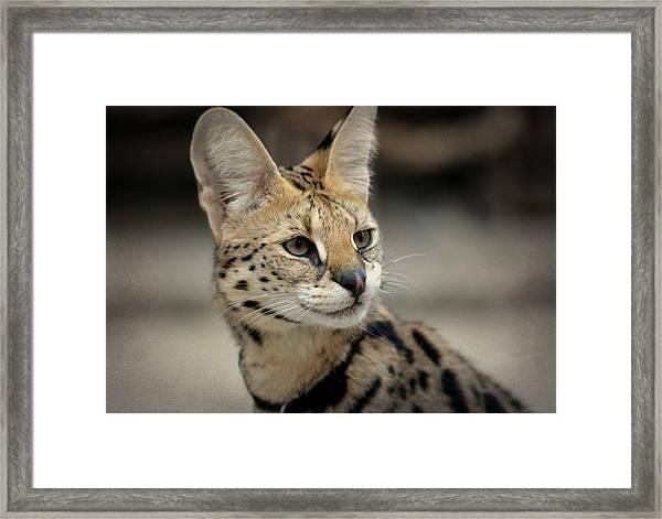 Serene Serval Framed Print