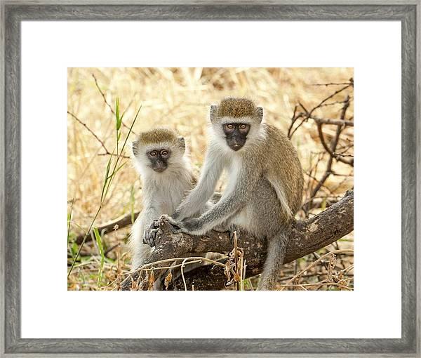 Serengeti Vervet Monkeys Framed Print