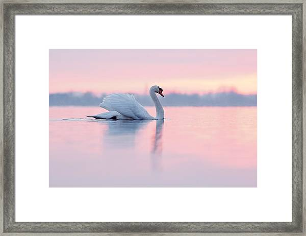 Serenity   Mute Swan At Sunset Framed Print