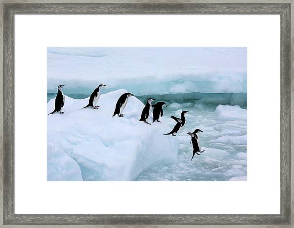 Seven Chinstrap Penuins Queueing Framed Print by Rosemary Calvert
