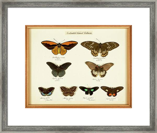 Sexual Dimorphism In Butterflies Framed Print