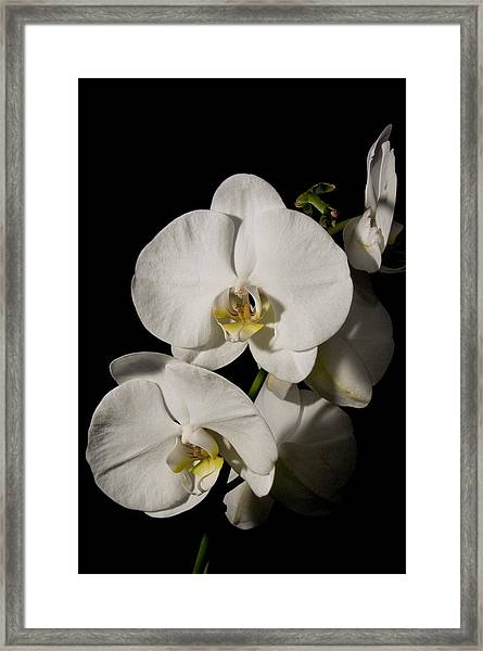 Shadowy Orchids Framed Print