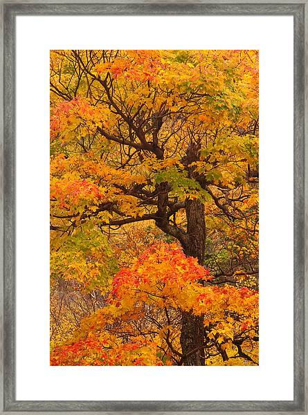 Shapely Maple Tree Framed Print