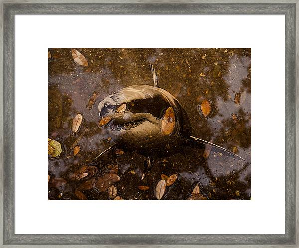 Shark Framed Print
