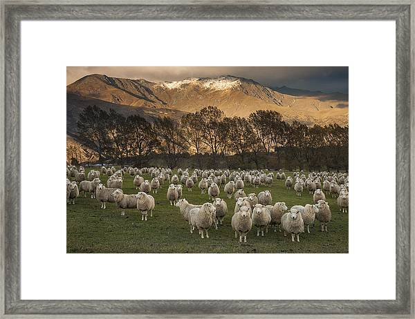 Sheep Flock At Dawn Arrowtown Otago New Framed Print