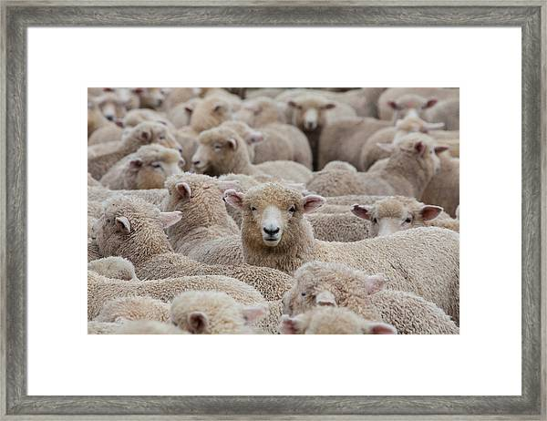 Sheep Herd In New Zealand 2 Framed Print by Clickhere