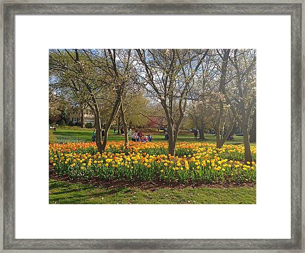 Sherwood Gardens Yellow Tulips Framed Print