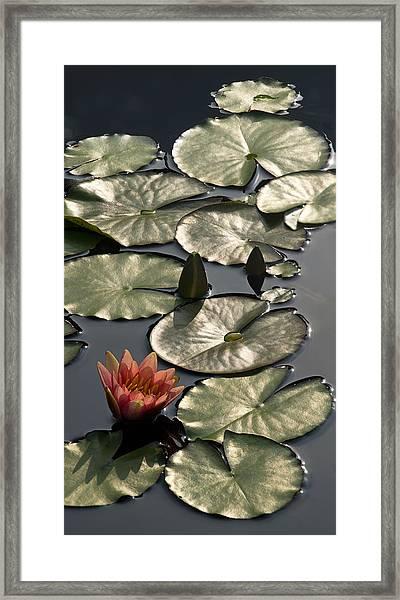 Shimmering Lily Pads Framed Print