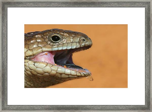 Shingle Back Lizard Framed Print