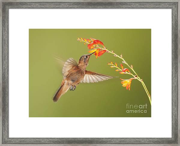 Shining Sunbeam Hummingbird Framed Print