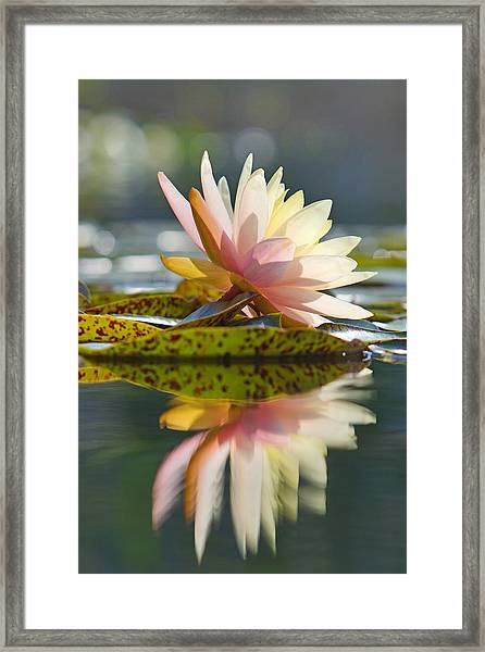 Shining Water Lily Framed Print