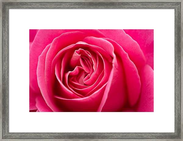 Shocking Pink Rose Framed Print