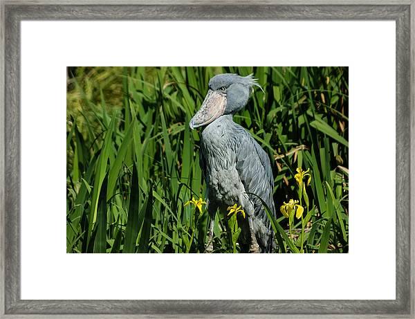 Shoebill Stork Framed Print