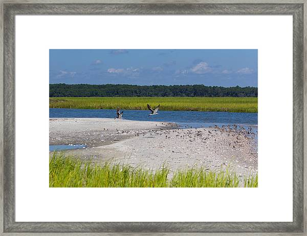 Shorebirds And Marsh Grass Framed Print