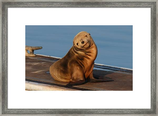 Shy Sea Lion Pup  Framed Print