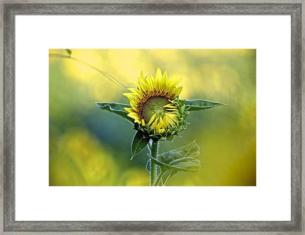 Shy Sunflower Framed Print