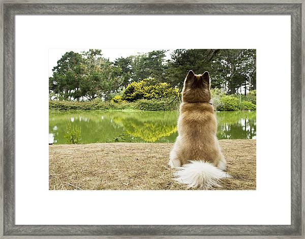 Siberian Husky Admiring Lake View, San Francisco, California, Usa Framed Print by Bojana Korach