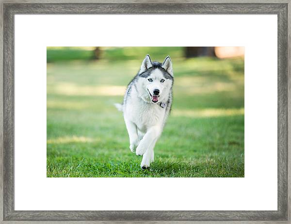Siberian Husky Dog Running On Grass Outdoors Framed Print by Purple Collar Pet Photography