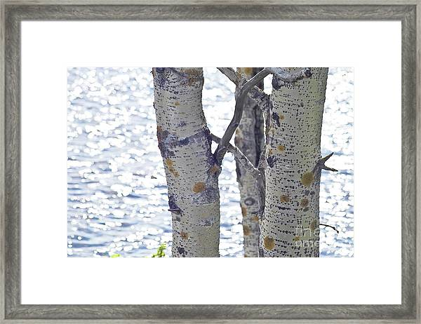 Silver Birch Trees At A Sunny Lake Framed Print