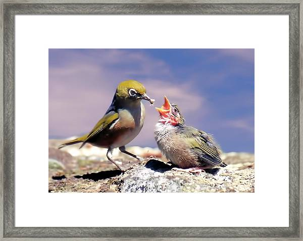 Silver Eye With Chick Framed Print