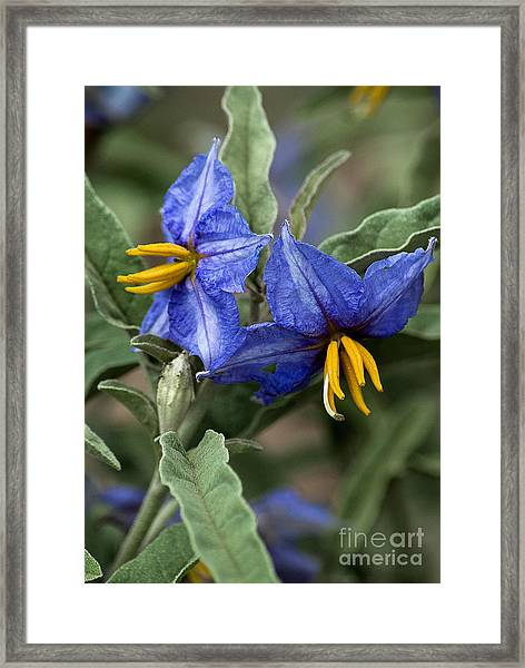 Framed Print featuring the photograph Silver Leaf Blooms by Mae Wertz