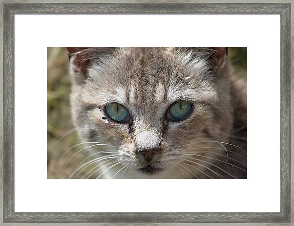 Silver Tabby But What Color Eyes Framed Print